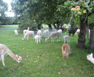 Clearing the orchard Dunreyth Alpacas