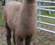 Dunreyth Laddie the LLama Dunreyth Alpacas