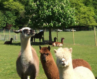 Boys watching me watching them Dunreyth Alpacas