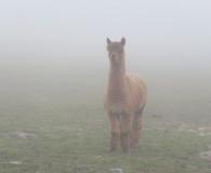 Inca in the mist
