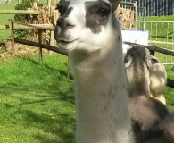 Dunreyth Larry the LLama Dunreyth Alpacas